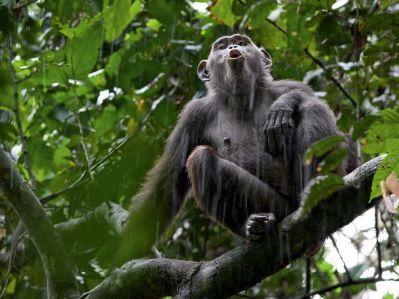 chimp-call