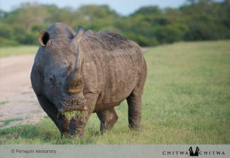 Chitwa Rhino