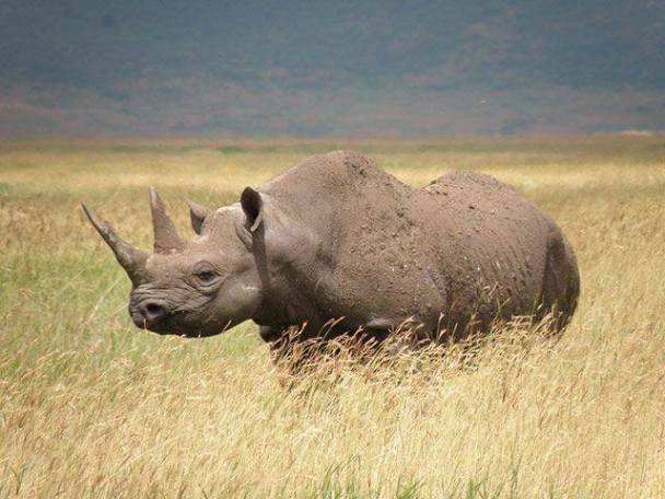 Critically Endangered Black Rhinoceros