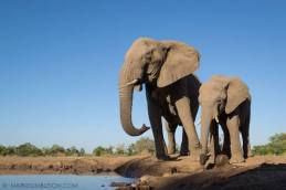 Drinking Elephant - Mashatu Game Reserve, Botswana