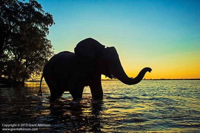 elephant bull on the Chobe, just before sunset,