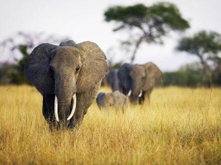 elephant-herd-grass-tanzania_22652_990x742