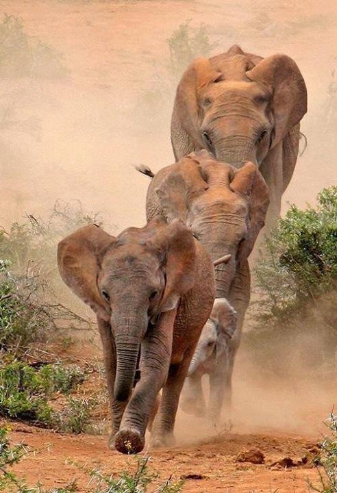 Elephants on the move!