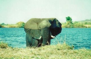 Emerging from Chobe River