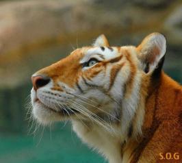 Female Bengal Tiger