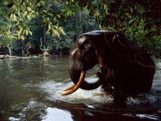 forest-elephant-water_Gabon