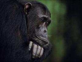 frodo-gombe-chimp-Alpha Male
