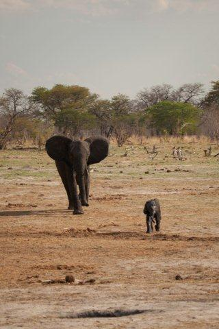 g Still running after the car with mum hot on his tail. — at Camp Hwange Zimbabwe.