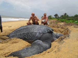 Giant Leatherback Turtle.