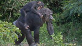 GTY_chimps_sr_131029_16x9_608
