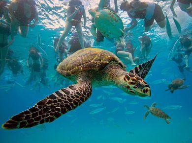 hawksbill-turtle-barbados_26743_990x742