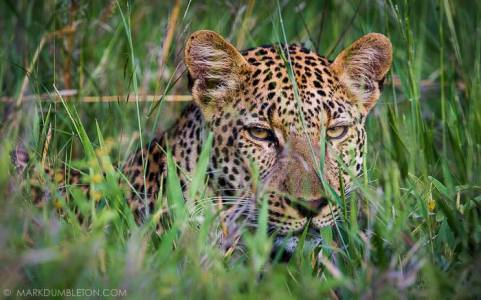 I followed this male Leopard one summer morning, not far from the Orpen Restcamp on the Rabelais loop heading towards Satara.