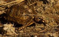 Kalahari tent tortoise