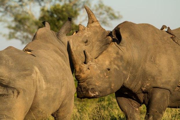 Love - Rhino style
