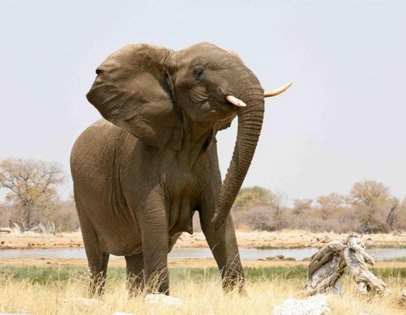 Matriarch warning of a charge - Photo by Willem de Voogt
