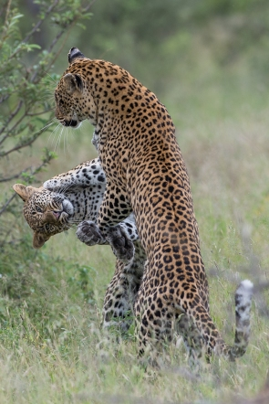 More than a mother, the Tamboti female drops her guard and plays with her growing cub.