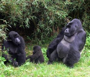 mountain-gorilla-family-bwindi