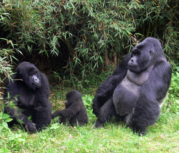 mountain-gorilla-family-bwindi