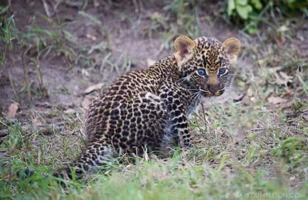 Newborn Leopard Cub - Masai Mara National Reserve, Kenya