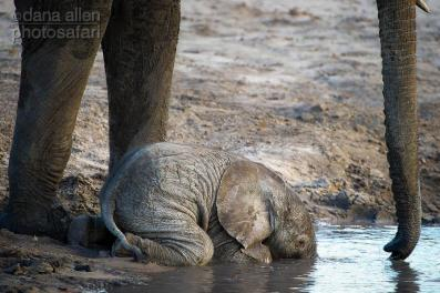 One-hour old and he's already drinking.....by Dana Allen - PhotoSafari