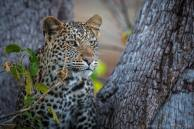 Onlooking Leopard - Mashatu Game Reserve, Botswana