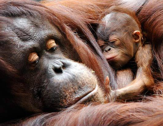 Orangutan mother and newborn portrait