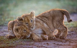Playful Mara Cubs