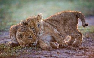 Playful Mara Cubs