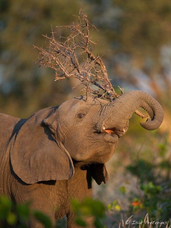 Playtime - Isak Pretorious Wildlife Photography