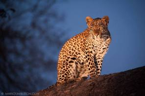 Posing Cub - Sabi Sands Game Reserve, South Africa