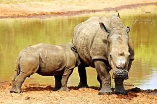 Precious Moments of a rhino and her calf drinking while mom ensures we keep our distance - Candice Botha