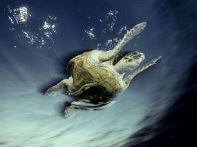 remora-hawksbill-turtle_Red Sea