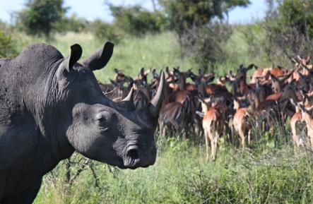 Rhino-and antelope
