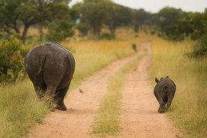 Rhino and Calf