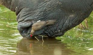 Rhino and oxpecker