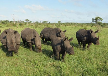 rhino at Londolozi