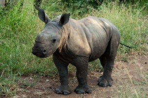 rhino-calf