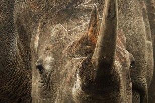 Rhino-cow