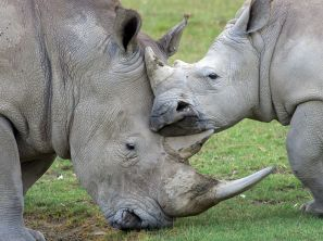 rhino-family-kenya_lake nakuru