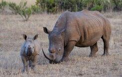 Rhino Fridays