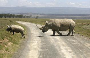 Rhino Mommy's Care in Lake Nakuru NP, Kenya