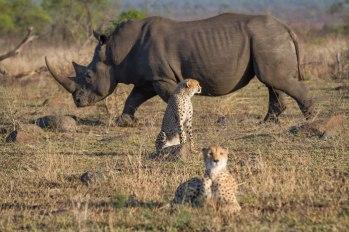 Rhino_Cheetah