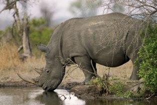 rhino_water_large Singita