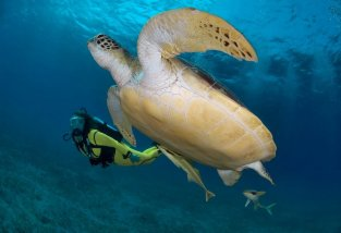 Ridley's Green Turtle in the Seychelles