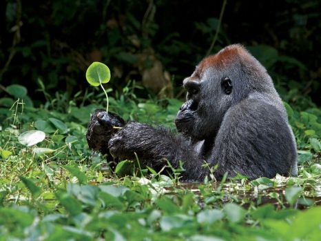 silverback-gorilla-leaves-africa