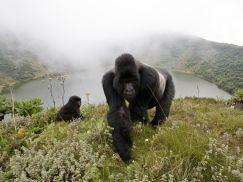 silverback-gorillas