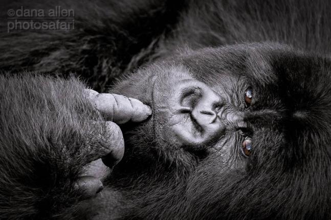 Silverback Mountain Gorilla, Rwanda by Dana Allen - PhotoSafari