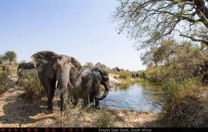 Some elephants having a fun time in the Sand River.
