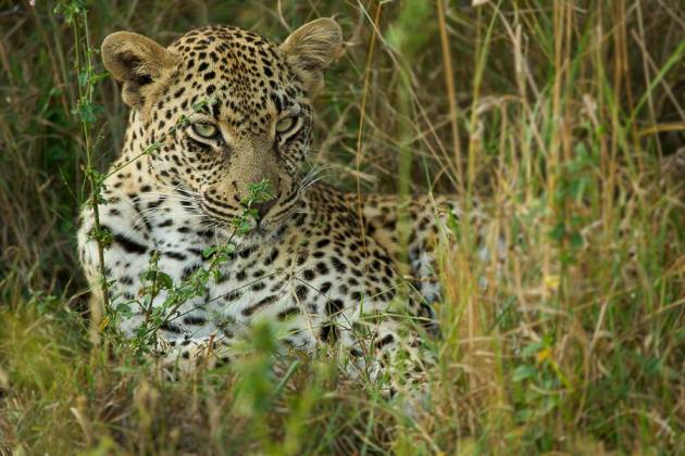 Such a beautiful young leopard, The dudley river bank young female - Londolozi Game Reserve