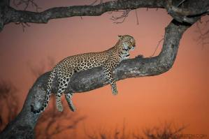 Sunset Leopardess - Sabi Sands Game Reserve, South Africa
